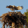 I was late getting to the ospreys this year.  By the time I made my first visit, the youngsters were levitating above the nest getting ready to fly.  <br /> <br /> Osprey nests are huge, weighing between 200-300 lbs.  As you can see, ospreys aren't picky about nesting material.  They'll use whatever they find.  The Richmond nests are built near abandoned plants, so many interesting artifacts can be found in their nests, including bells, chains, ropes, and lots of plastic.