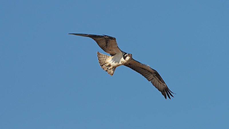 """(please see complete video at: Â <a href=""""https://youtu.be/NCt0PrQlM10"""">https://youtu.be/NCt0PrQlM10</a>)<br /> <br /> Osprey facts:  Ospreys are large raptors found on every continent except Antarctica; 99% of their diet is fish, so they spend most of their lives near water; females are larger and darker than males; average wingspan is over 5 ft; average lifespan in the wild is somewhere between 7-10 yrs, but some individuals live into their 20's.; ospreys mate for life and re-use the same nest year after year.<br /> <br /> Ospreys are fierecly territorial, but their concept of territory only extends a short distance around and above their nests.  As a result, osprey nests are fairly close together.  This year at least 8 of them are occupied along the Richmond shoreline."""