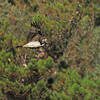 Most of the action occurred against a clear sky because ospreys build their nests in high, open locations.  It was a treat to see one flying against a green background.