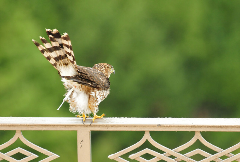 Then, well, what they all do before flying :-)  All totaled, the hawk let me watch for about an hour.