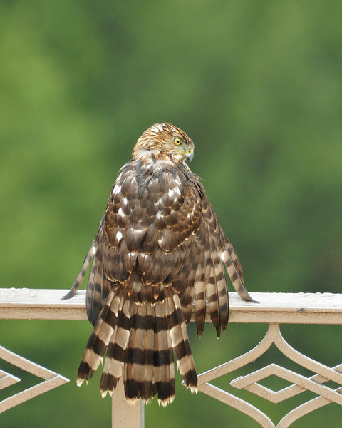 He or she landed to rest and dry out.  Unfortunately, after about 20 minutes, the rain started again.  The hawk decided to wait it out.