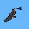 Crows are absolutely fearless and when they feel threatened, they'll attack birds many times their size.