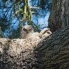 For several years my friends and I followed a family of great-horned owls which nested on an island in Golden Gate Park, San Francisco.  That family was back yet again in 2018, but it's become dangerous to go to that part of the park when owls are active (early morning and around dusk).  Fortunately, another owl family has been nesting in a safer, but less scenic, area of the park for at least 7 years.  Unlike on the island, here it's difficult to follow the owlets once they fledge, so the photos and video in this gallery cover just a few early morning and evening visits to the nest.
