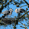 Having a nest was a priority, but the point was to raise a family.  Shortly after delivering the branch in the last photo, the couple launched into mating behavior.