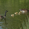 First sighting of goslings.