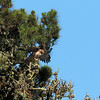 This red-tailed hawk and her mate nested here every year for at least the past 6 years.