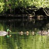 This group of mallards was interesting.  The trailing male stayed with the female and her chicks for weeks.  He never appeared to be aggressive and more-or-less played the role of dad.  I've never seen that behavior.