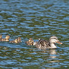 Not easy being a duck mother.  She's solely responsible for her brood and must protect them from their many predators.