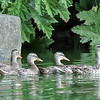 The duck families visited the waterfall pond one-by-one every evening.