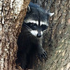 This is the same raccoon, spotted the following evening on Strawberry Island with one kit in tow.  Not sure why she was here, but she dragged her kit up a tree into this cavity and then waited for the coast to clear.