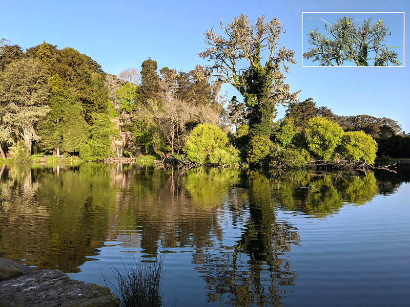 Great blue heron nesting season is the highlight of spring in the park.  This was an especially productive heron year.  Couldn't have happened at a better time. The tall scraggly tree on the right is where 9 heron nests sprang to life.  The tree sits on a small island in Stow Lake with the larger Strawberry Island (with waterfall) to the left.