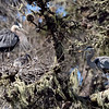 Another nest with chicks.  Once the little ones have hatched, the parents share babysitting and feeding duties.  The adults are displaying to each other.