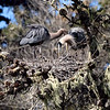 This is my favorite time of the heron nesting season .... when the chicks are still so small both parents can fit in the nest with them.  The interaction between the adults during the entire breeding season is graceful, elegant, and beautiful.
