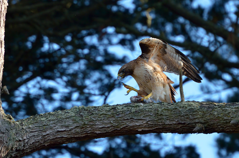 May 31:  This red-tailed hawk parent fed part of her catch (a duck) to her chicks then flew to this perch to finish it off.