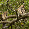 May 28:  Sheri, Joan and I waited out a rainstorm and returned Sunday evening.  The whole owl family was drenched.  Here, 2 owlets are focused on something moving in the brush.
