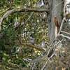 May 29:  We returned and found all 6 owls roosting in this tree.  See if you can find them.