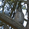 The squawking bluejays led me to this great-horned owl.  Sheri tells me this is the father. He's smaller than his mate and has white on his chest.  (This isn't cropped.  I probably could have gotten even closer, but didn't want to bother the owl.)
