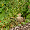 We saw this female mallard sitting on a log where owls normally perch......