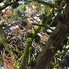 May 26, 2011:  Sheri took me to Golden Gate Park at 5:30 AM to see the resident great horned owl family of 6 (4 fledglings and 2 parents).  The sights were so amazing, I returned late that afternoon to see the action at dusk.  First up was this red-tailed hawk nest.  Mom was home feeding junior.  In the morning, the chick was standing tall, but here he/she is hunkered down in the deep nest getting dinner.  It seems there's only 1 live chick here this year.  (Update June 2:  there are actually 2 huge chicks in this nest getting ready to fledge.)