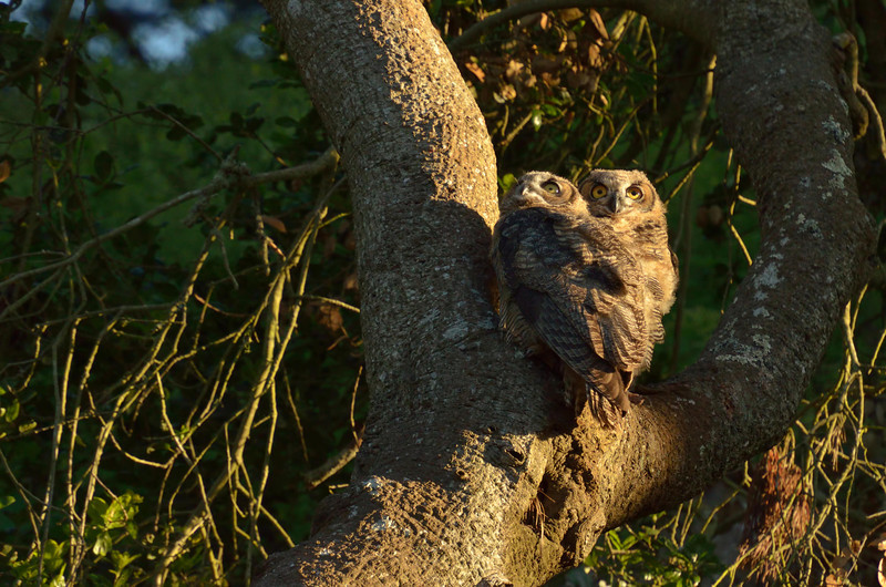 Shortly after 7:00 PM while the sun was still shining, the owl family got active.  These 2 chicks flew out of their high daytime roost into the crook of this tree.  They take their cues from their parents.... people don't seem to bother them.