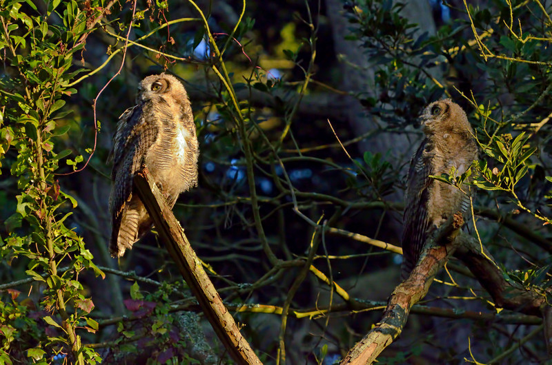 Two of the owlets soon followed dad.