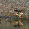 The hawk left the water, sat on the shore for a short while, then returned for another bath.  About an hour later, she returned yet again.  Each time, the ducks swam over to her.