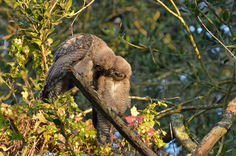 Much to our delight, the owlets began grooming each other.