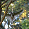 Owlet coming in for a landing.