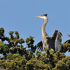 Every year at Stow Lake in Golden Gate Park, several pairs of great blue herons raise their families. It's quite a sight.  Here's an adult approaching its nest in Golden Gate Park to feed the babies.