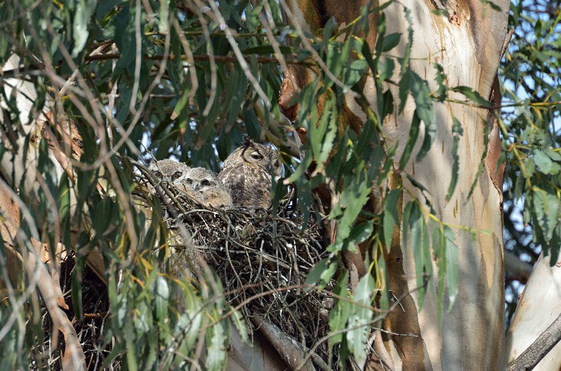 April 13:  It was a dark, rainy morning and the owls were hunkered down.