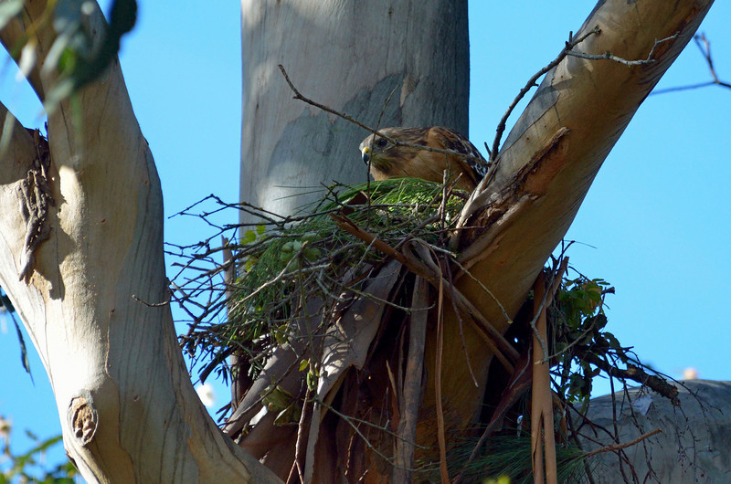April 5:  The hawk nest is beginning to look better.  We're hopeful this pair of wonderful parents can actually raise a family here this year.  If not, they will likely return next year to improve their nest.