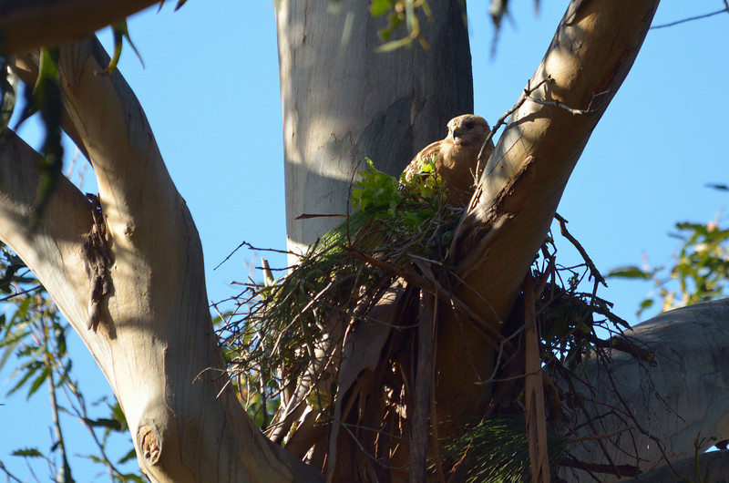 April 6:  The hawk nest keeps getting bigger, but it's probably the father who is bringing the building material since the female almost never leaves, meaning she's got eggs.