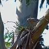 The red-shouldered hawks were furiously building a new nest just a few trees removed from their original home.  This might work out for them because by the time they have their chicks, the owls should be gone and hopefully will leave the hawks in peace.