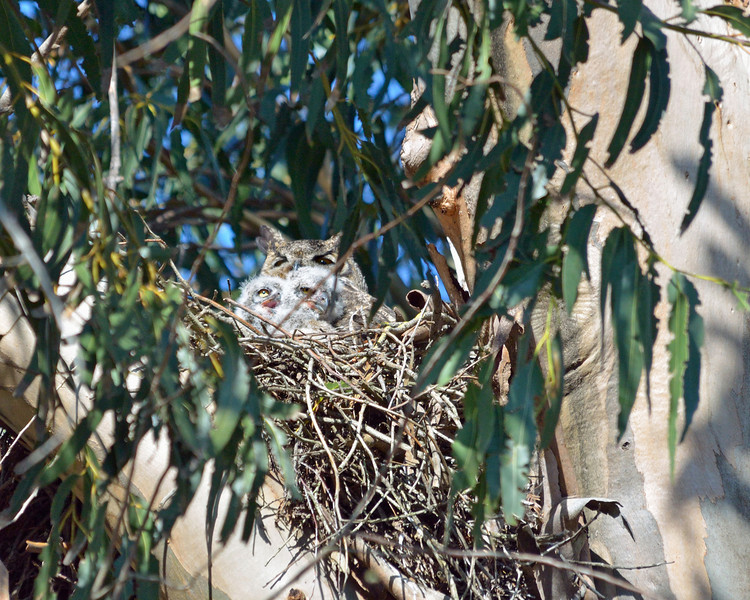March 29:  For at least 4 years, and probably longer, this nest has been occupied by a beautiful pair of red-shouldered hawks.  Joan, Penny and I have watched them successfully raise families since 2007.  Amazingly, the nest is located in a eucalyptus grove adjacent to an office parking lot.  One recent morning Joan went to see if the hawks had arrived, but here's what she found instead.... a great horned owl had appropriated the nest for her new family!  Great horned owls are famous for this behavior, and except for eagles, they're the apex predators of the sky around here, so the hawks had no choice but to leave.