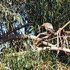 The male perched on this branch of the nesting tree carrying a large stick.