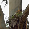 April 2:  Looks like the female red-shouldered hawk is actually brooding eggs.... she was sitting when Joan arrived and still sitting when I left.