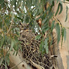 Mom.  The nest is huge and even though the chicks are large, they can easily disappear.
