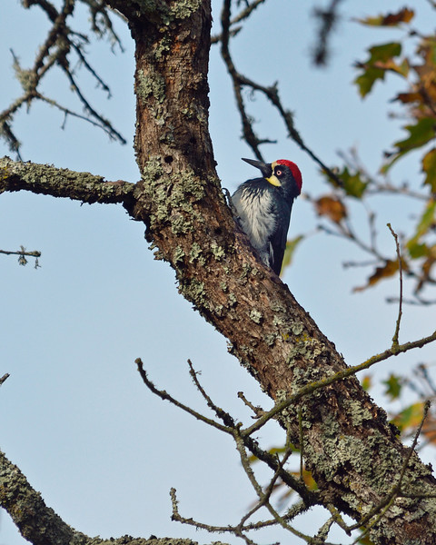 After leaving the sweet owl, Joan took me to a small park in Novato called Bahia (?) to look for acorn woodpeckers.  We weren't disappointed.