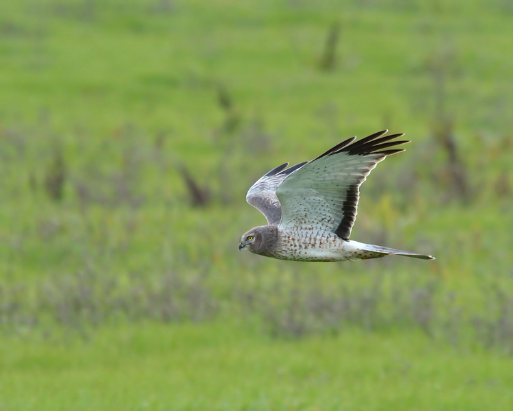 We saw at least 3 individual harriers.