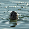 A family of 4 river otters have taken up residence on the island in Pond 1.
