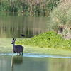 Just as we were leaving, a mom deer and her 2 fawns crossed from the island in Pond 1 to the island in Pond 2.