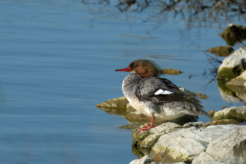 Merganser.  Mary and I had low expectations for our visit, but we were pleasantly surprised.  Lots of critters.  Great for me because I was testing a new 500mm lens.