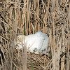 Swan on her nest with 2 hatchlings and a bunch of eggs under her.