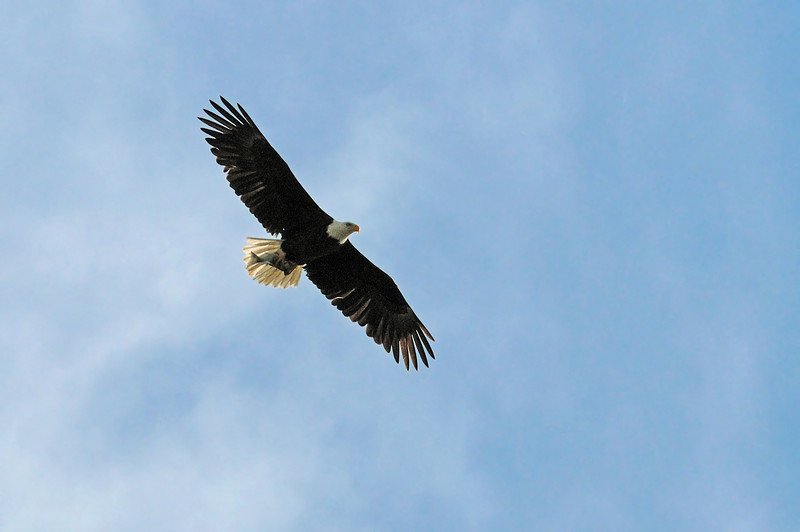 Holy smokes!!!!  I couldn't believe my eyes..... a bald eagle clutching a fish!!  This is what had gotten the attention of the 3 harriers in the vicinity.  The eagle was circling near their nests and they went to defend their chicks.