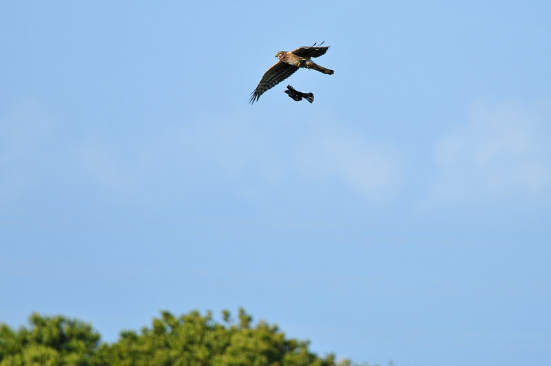 Harrier getting chased by a red-winged blackbird