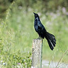 This grackle was oblivious to us as he tried to attract a mate by fanning out his tail feathers and making calls I hadn't heard before.