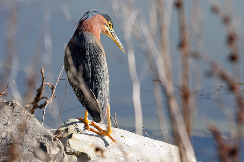 """Green heron.  Normally, these birds a very shy, but I was all alone and even though I occassionally """"clicked"""", he stayed put."""