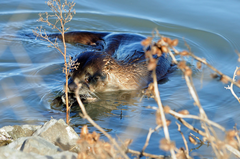 After the prior photo was taken, the otter disappeared under a pier and came out with this.  We think it's a duck.