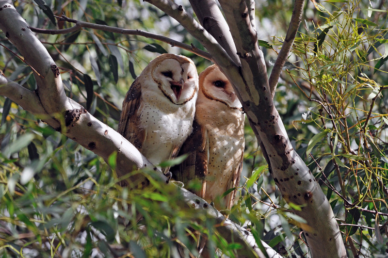 The large youngster flapped her way up to a higher branch, leaving the siblings behind.