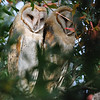 Sometime during the night of May 15-16, 2010, these 2 fledged.  Joan and I found them huddled together in a tree very near their owl box on the morning of May 16.  Last year, the babies stayed close to their box for about 2 weeks.  A ranger told us there were 7! chicks in the box this year, so hopefully the rest will fledge over the next few days.  Gail, our new owl expert, explained that white owls are males (something about attracting mates), and the darker ones are females (camouflage), so we've named this pair Moe (left) and Minnie (right).